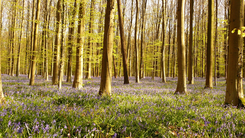 4-La forêt bleue de Halle le 20.04.15 - 16.12h