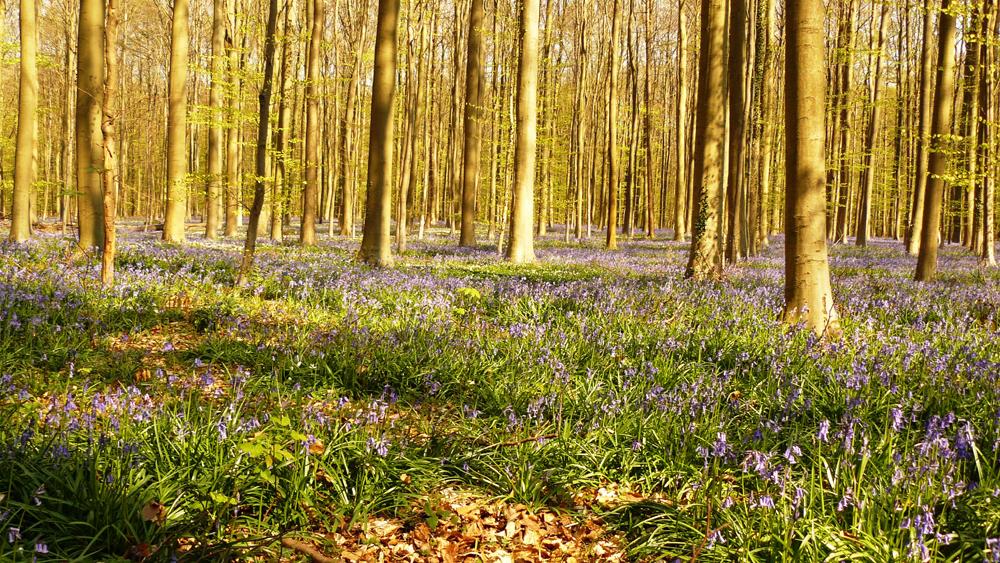 5-La forêt bleue de Halle le 20.04.15 - 16.12h
